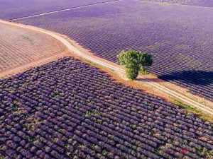 An aerial view of a tree in a lavender field in the summer in Provence, France. [Image Source: Matteocolombo.com]